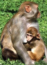 Foto: California National Primate Research Center