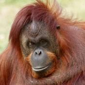 Foto: Great Ape Trust